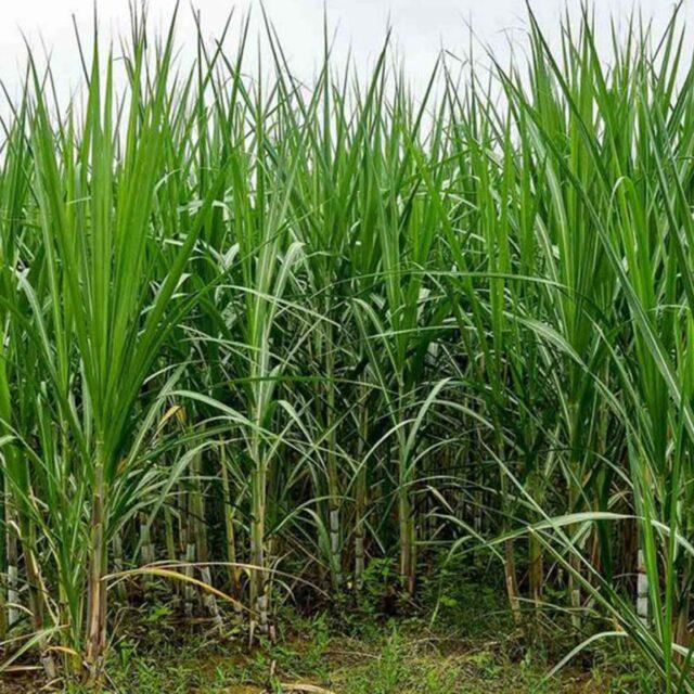 sugarcane mk