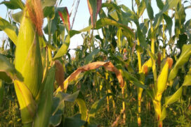 Corn growers need loans to cover rising input costs: MCIA