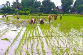 Monsoon rice crop cultivation exceeds target in Sagaing Region