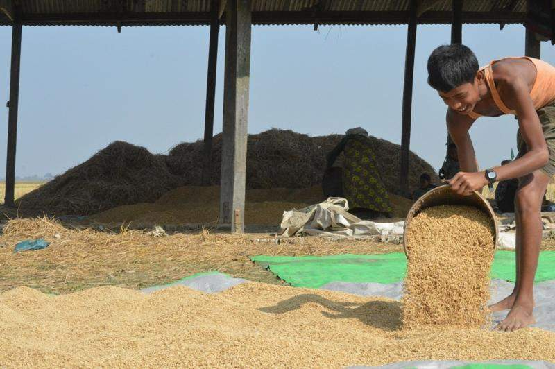 A young man makes paddy dry in a field out of Kyein-ni-pyin camp in Pauktaw Township. About 1,000 Muslim households are accommodated at 126 eight-roomed buildings in the camp, one of four in the township. Apart from being provided with bags of rice by WFP monthly, the camp people are allowed to do paddy growing and fishing. —GNLM/Photo: Ye Myint