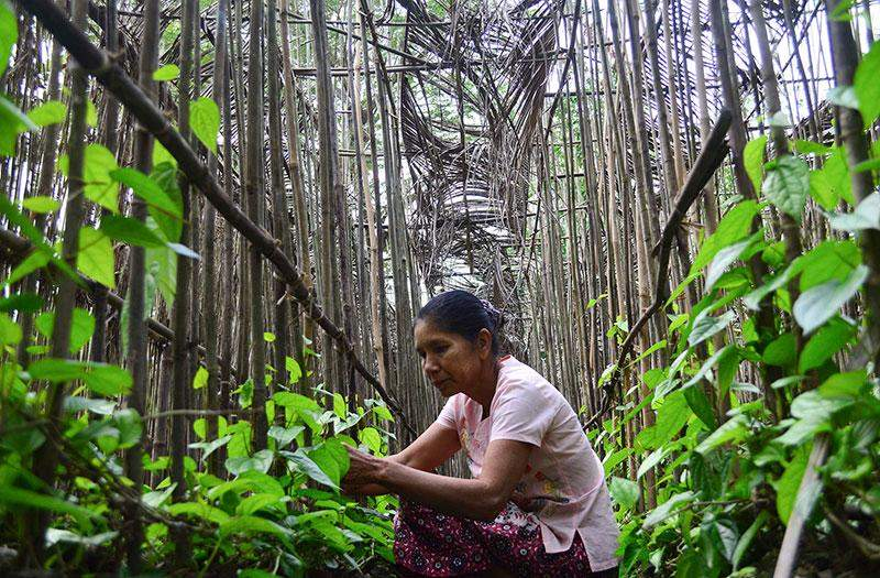 Daw Ohn Myint Kyi nurtures betel plants at her farm established with the use of loans from the Pact Global Microfinance Fund.—Photo: Aye Min Soe