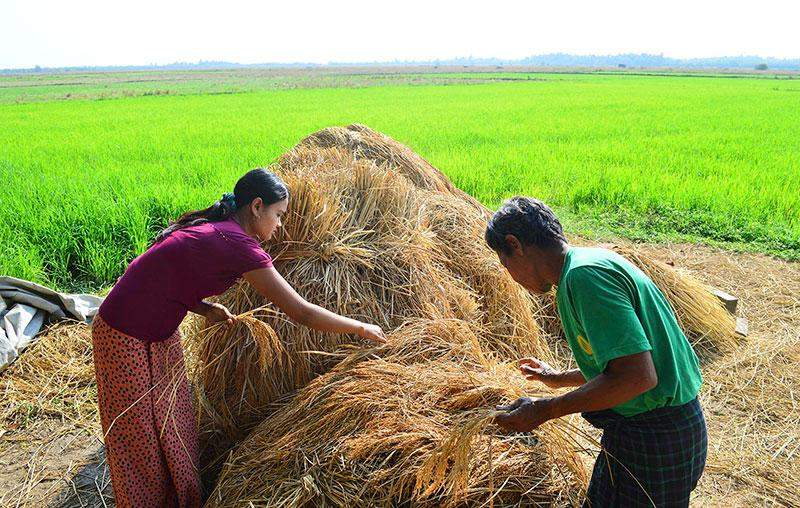 Access to agricultural machinery is a major  challenge for farmers who are double-cropping  rice in salt-intrusion areas, even though the  growing method itself is simple. Photo: Aye Min Soe