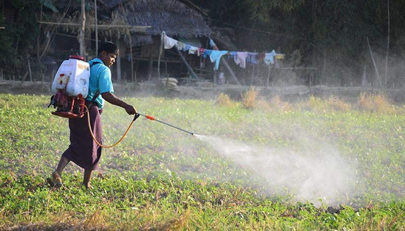 A farmer sprays tonic on bean plants in Kawa.—Photo: Aye Min Soe