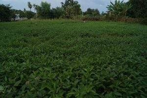 Watercress farming generates income for growers in Tatkon. Photo: Tin Soe Lwin