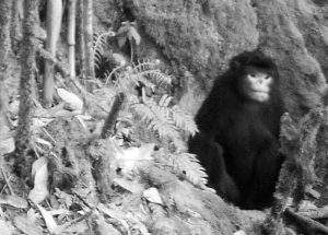 Scientists photographed the Myanmar snub-nosed monkey using a camera trap in 2010. Photo: FFI
