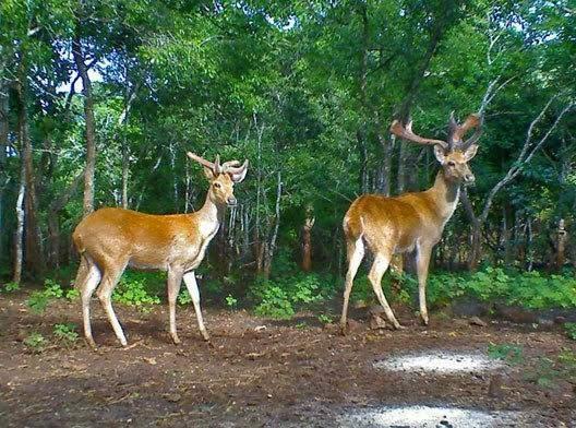 Goldern deers are seen at Chutthin Sanctuary. Photo: Stringer/Kyemon
