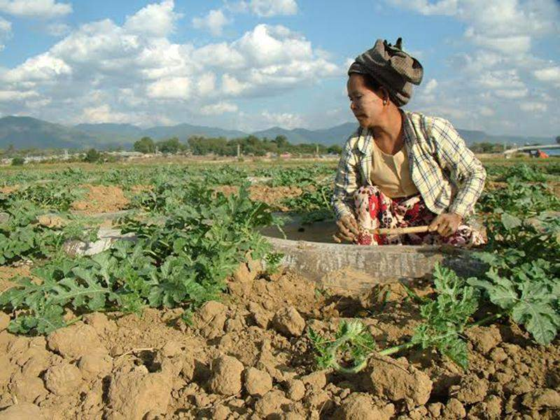 The modern cultivation of method of watermelon is being used by cucumber growers in upper Myanmar. Photo: Aye Min Soe