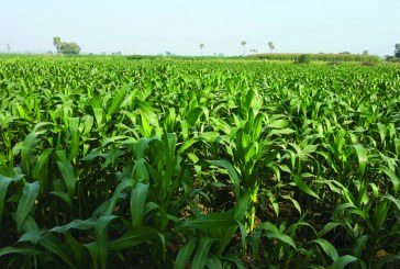 Yesagyo farmers turn to stable maize