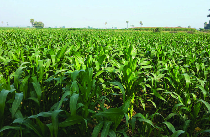 Thriving stable maize in Yesagyo.
