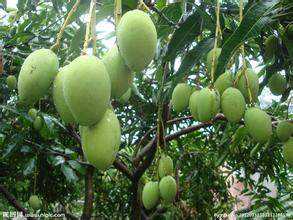 Seintalone mangoes. Photo: Sai Lu Min