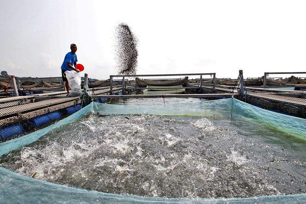 A fish farm worker feeds his stock. Photo: The Mirror