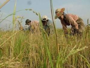 Farmers harvest rice in Tatkon. Photo: Aye Min Soe