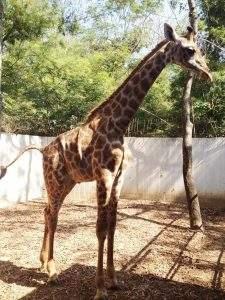 Giraffe Male 7222