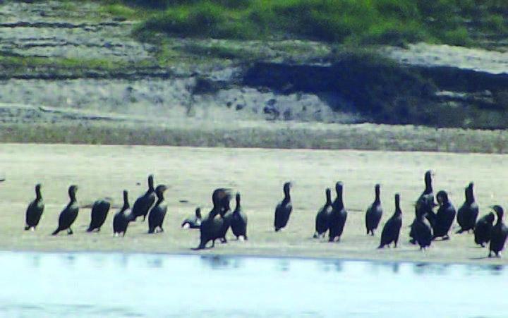 Migrant birds are seen on a sandbank in the Ayeyawady River.