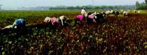 Farmers havesting at the green gram plantations. Photo: Ko Kyaw (Thonegwa)