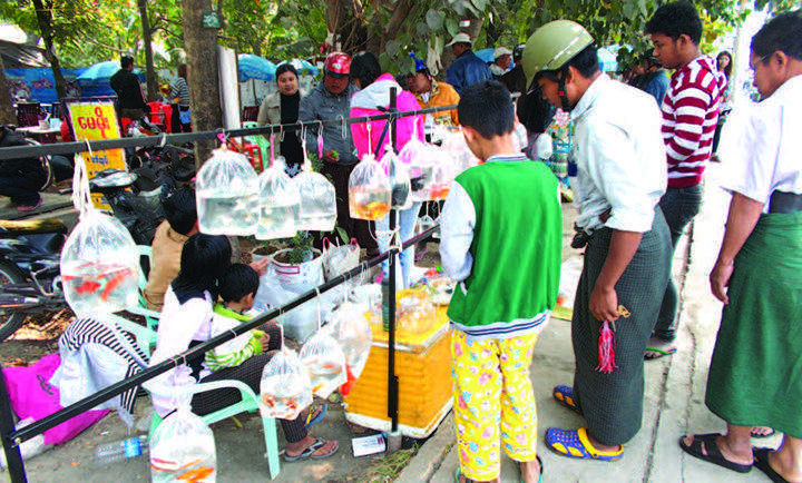 Goldfish breeders in Mandalay thronged with buyers.