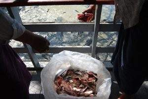 Visitors toss fish into the hungry crocs' jaws. Photo: Jacob Goldberd