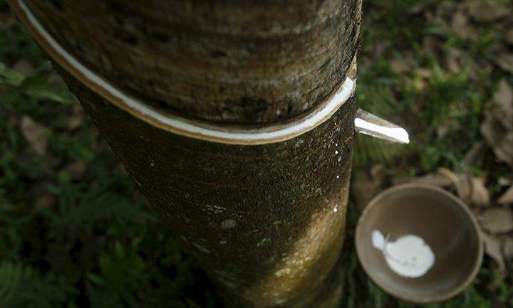 Rubber latex is collected in a bowl. Photo: Reuters