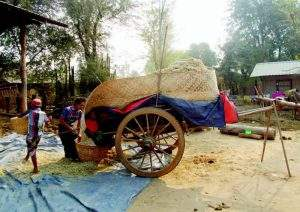 Amarapura farmers usually store forage for cattle. Photo: Teintamen