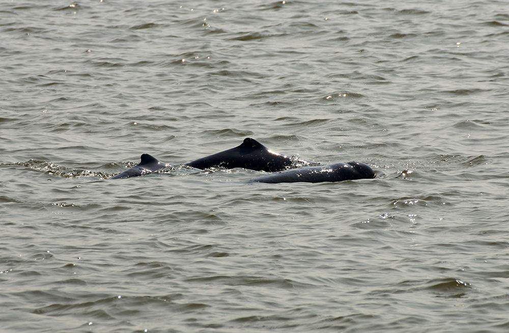A couple of Ayeyawady dolphins spotted in the Ayeyawady River during a survery in February. Photo: Thet Zaw Naing (WCS)