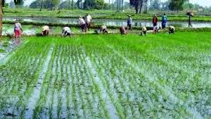 Farmers seen growing the summer paddy . Photo: Maung Kyaw Gyi