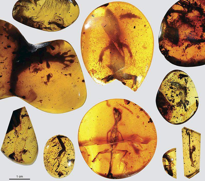 Various lizard specimens are shown preserved in ancient amber from present-day Myanmar in Southeast Asia, in this handout photo provided by the Florida Museum of Natural History on 5 March 2016.  Photo: Reuters