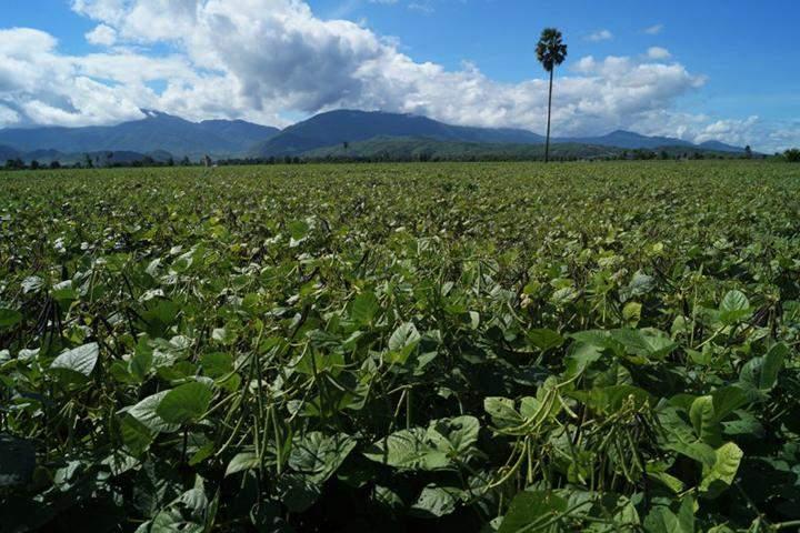 Green gram plantation in Tatkon Township.