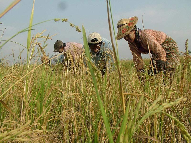Farmers work on a rice field in Bago Region. Photo: Aye Min Soe