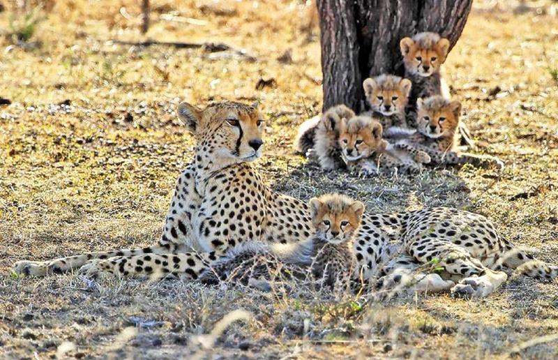 Baby-leopards seen.