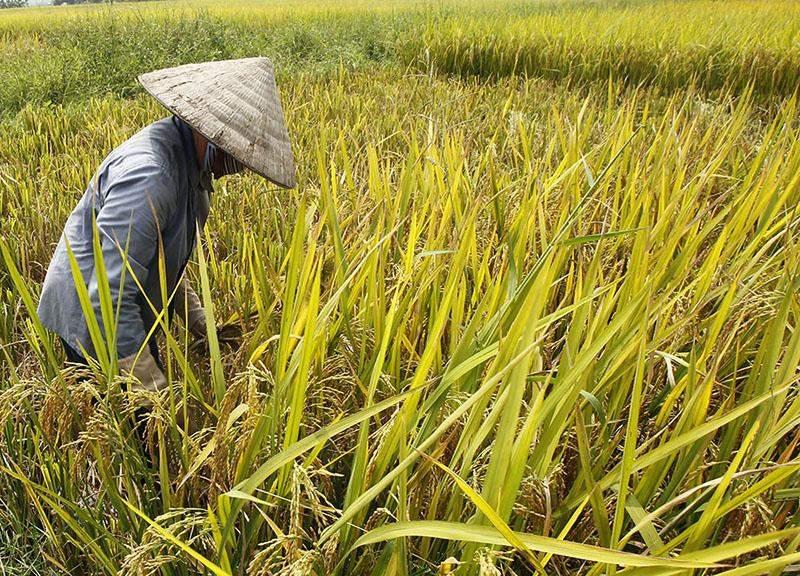A farmer seen working on a rice field near Thilawa economic zone outside Yangon. Photo: Reuters