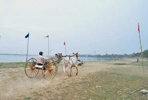 A bullock cart seen participating in the cart race. Photo: Aung Thant Khaing