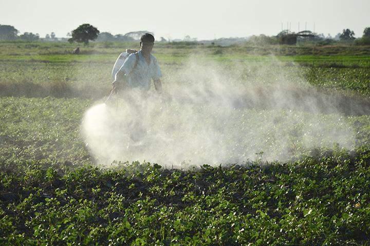 A farmer sprays tonic on green gram field.