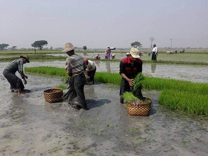 Farmers plant rice in an irrigated field in Sagaing.