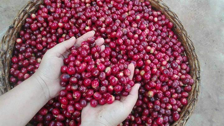 Coffee berries.