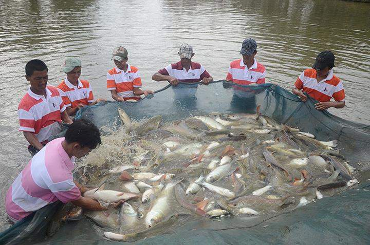 Fish are caught to be bred at Laydauntkan farm in Yangon on 11 May.
