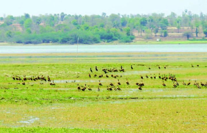 The birds been seen grazing around Mone Taing dam.