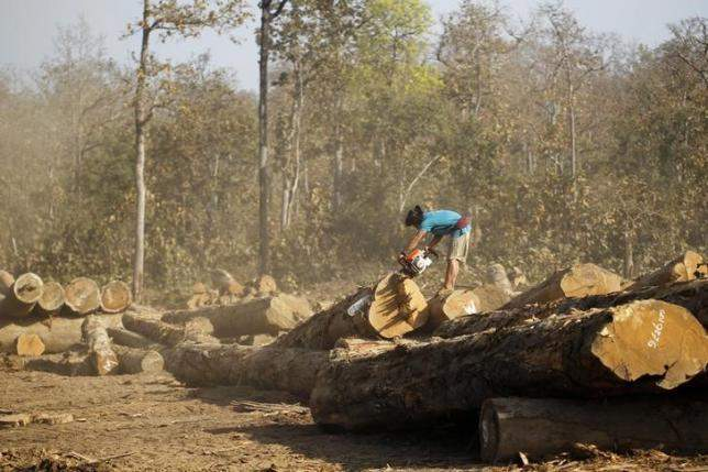A man uses a chainsaw to cut teak logs in a logging camp in Pinlebu township, Sagaing, northern Myanmar, in this picture taken March 5, 2014.