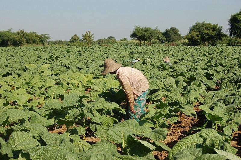 A farmer working on tobacco plantations. Photo:GNLM