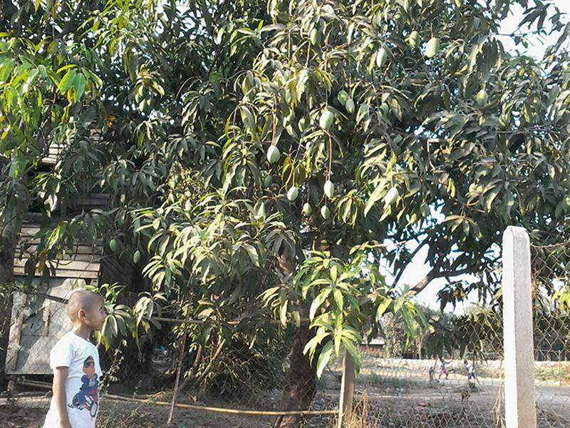 Mango trees with luxuriant growth being seen.