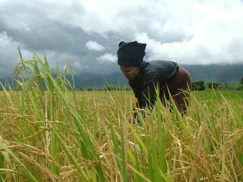 A farmer harvests rice in centarl Myanmar. Photo: Aye Min Soe