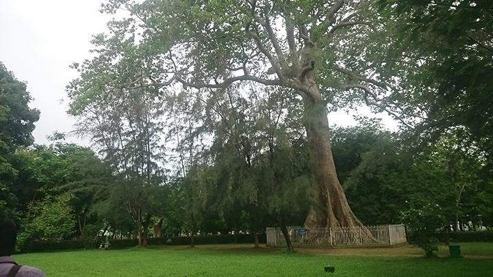The Dalbergia Kurzii tree, an important symbol of the University of Yangon.