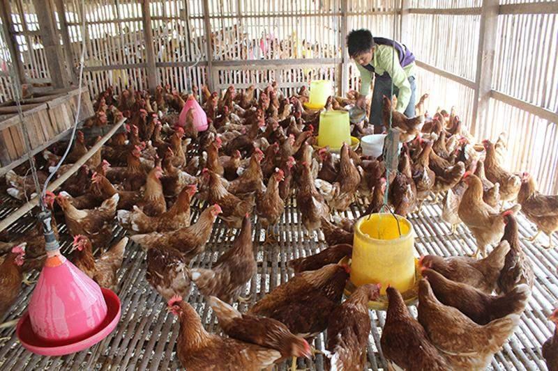 A worker seen feeding chicken at a farm in Tatkon.