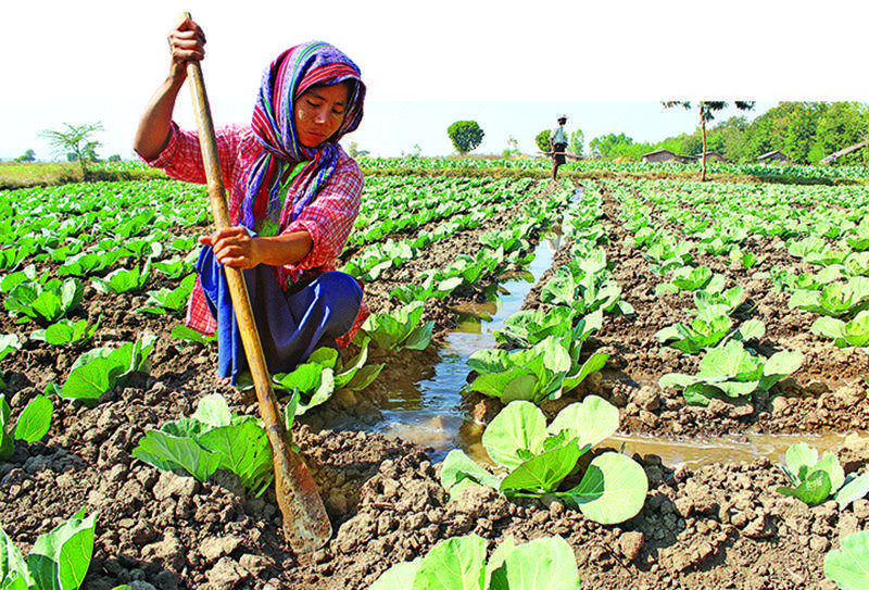 A farmer digging in soil with a hand shovel at a cabbage farm outside Nay Pyi Taw.