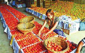 A woman arrange tomatoes from Inlay lake to send them to market.