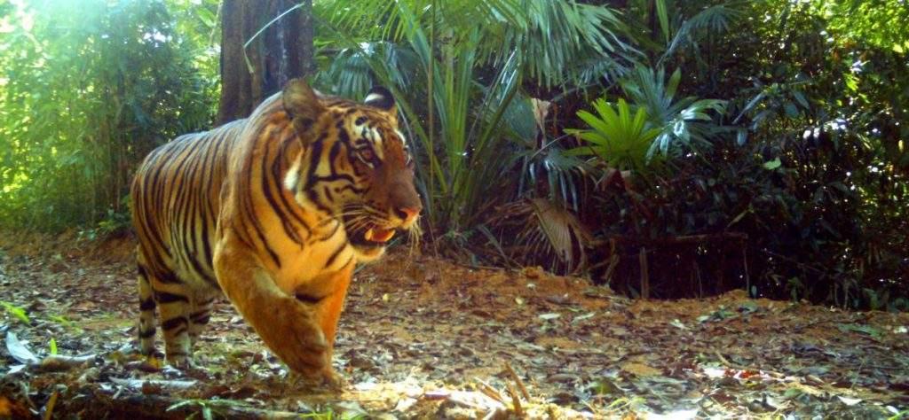 An endangered tiger in Hukaung Valley. Photo: WCS Myanmar (Twitter)