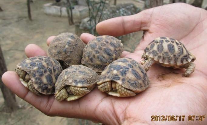 Baby star tortoises (Geochelone platynota) are seen before released to conservation area. Photo: Khin Myo Myo