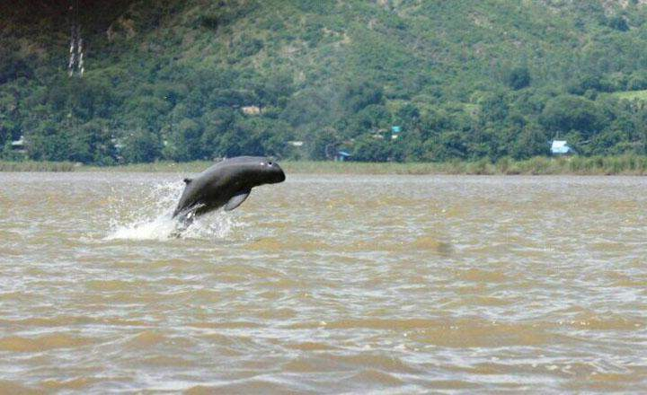 An Ayeyawady Dolphin seen jumping out of the water.