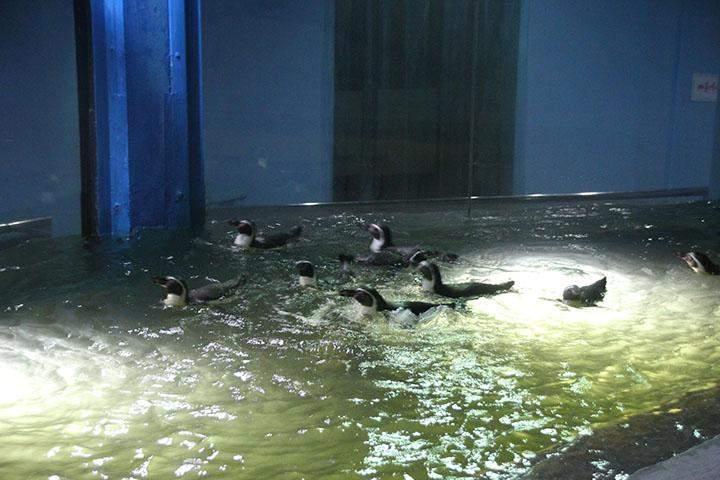 Humboldt Penguins seen swimming.