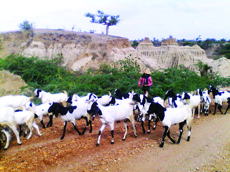 A woman driving goats to grazing land in central Myanmar.