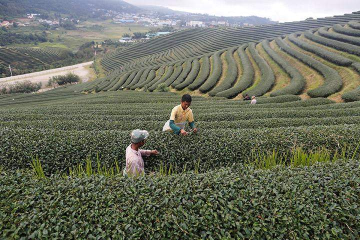 Workers in a tea leaf field at Mong Mao in ethnic Wa territory in north east Myanmar October 1, 2016.